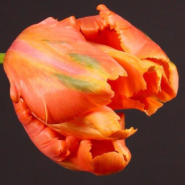 parrot-tulips-xltulips-tulpen-bijzonder