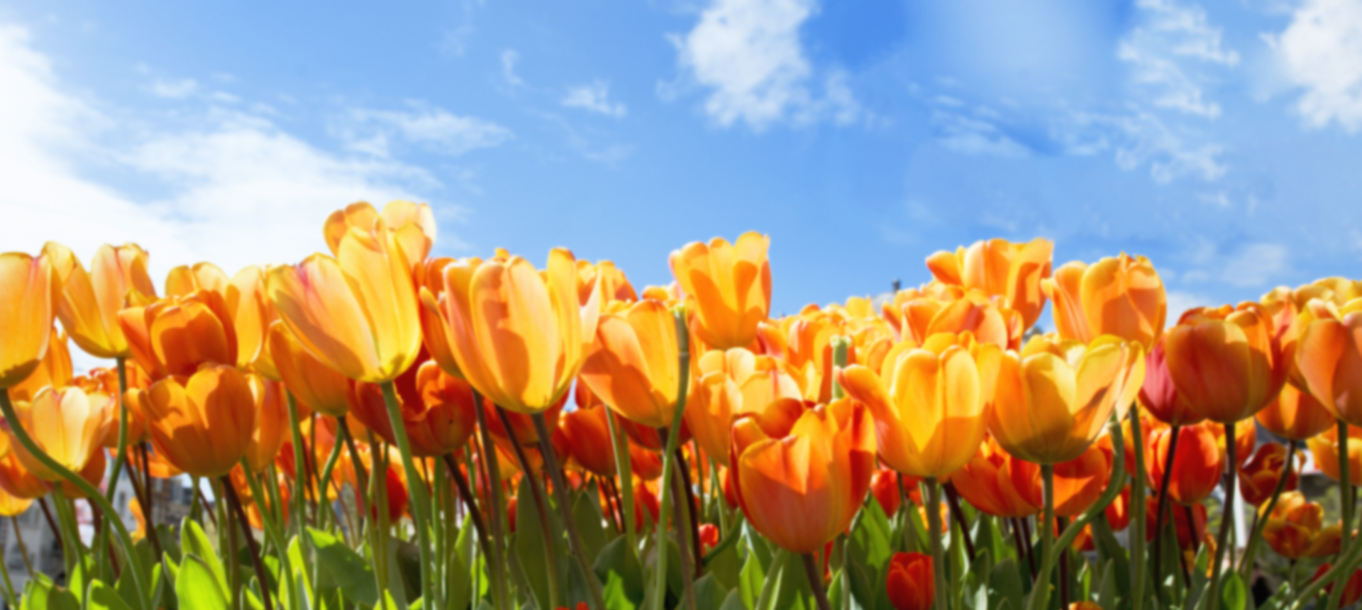 background-tulips-schouten-n.schouten