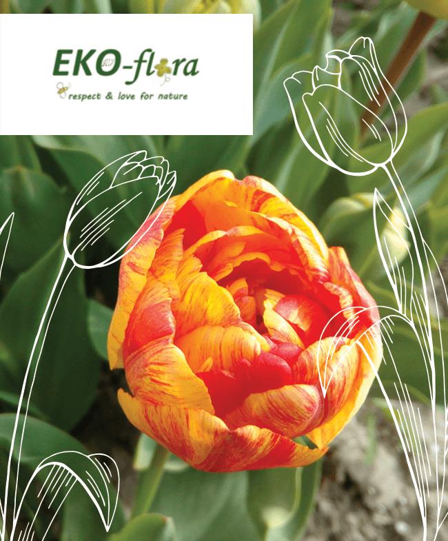 ekoflora-over-eko-flora-biologisch-tulpen