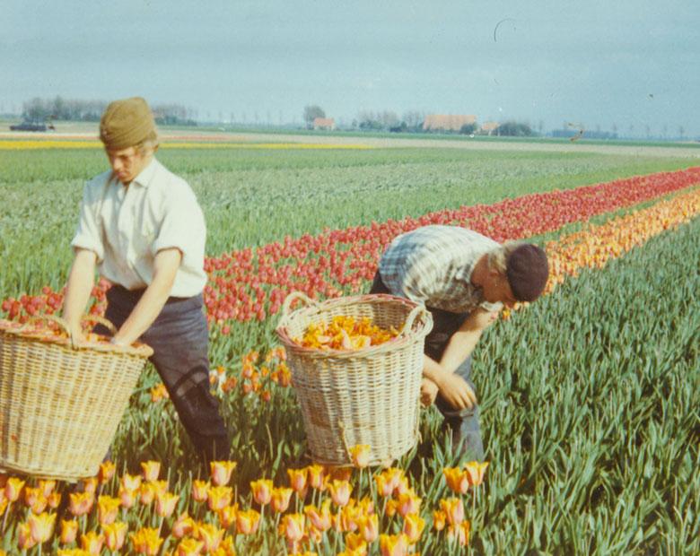 historie-schouten-tulips-schoutentulips-nschouten