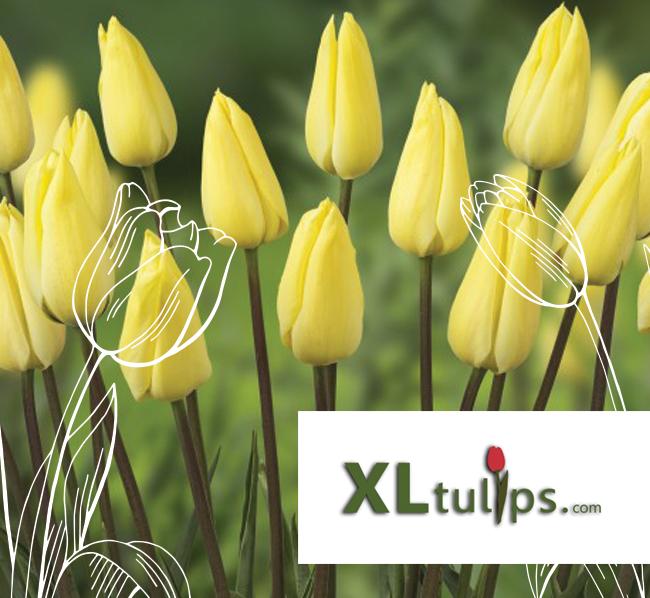 Schouten-tulips-xltulips-over-ons