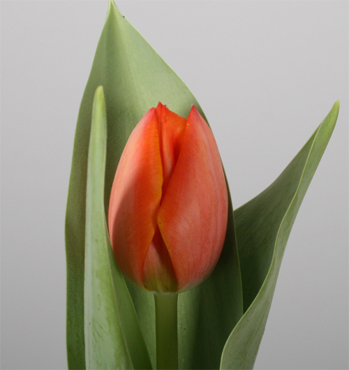 assortiment-tulip-tulp-1-orange