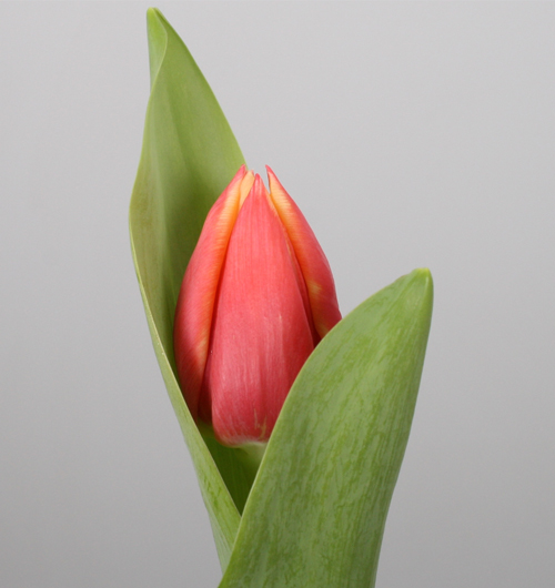 assortiment-3-tulip-tulips-orange