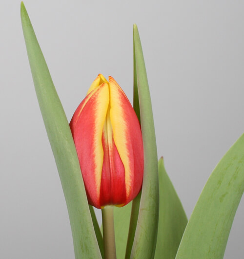 assortiment-5-tulip-tulips-orange