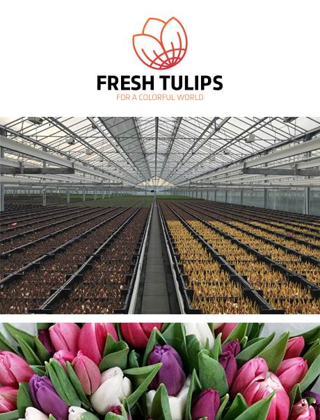 fresh-tulips